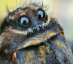 PsBattle: Spider face up close Cool Insects, Bugs And Insects, Beautiful Bugs, Amazing Nature, Beautiful Cover, Spider Face, Cool Bugs, Jumping Spider, Tier Fotos