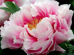 Peony, from Secret Language of Flowers