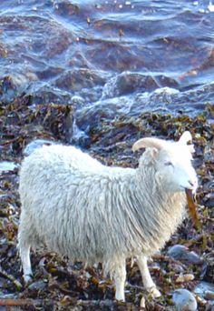 the-north-ronaldsay-sheep Sheep Farm, Sheep And Lamb, Baa Baa Black Sheep, Sheep Breeds, Petting Zoo, Domestic Cat, Lambs, Zoo Animals, Livestock