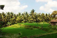Rice Paddy, Balinese, Vineyard, Golf Courses, Island, Explore, Outdoor, Outdoors, Vine Yard