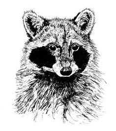 raccoon-in-pen