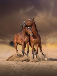 Horses fighting in the stormy sand.