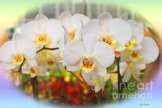 These are beautiful white orchids. Being that it is so closer to Easter and Spring, I added a pastel rainbow around the edge. All photos on this website are copyrighted material and all rights are reserved. Please don't copy.
