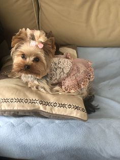 Source by dierckx_renilda The post appeared first on Abbi& Kennels. Yorshire Terrier, Terrier Breeds, Dog Breeds, Baby Yorkie, Yorkie Dogs, Yorkies, Animals And Pets, Baby Animals, Cute Puppies