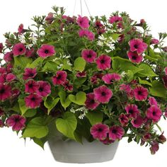 Proven Winners - In The Gallery combination container recipe containing Sweet Caroline Sweetheart Lime - Sweet Potato Vine - Ipomoea hybrid, Supertunia® Pic. Outdoor Flower Planters, Outdoor Flowers, Flower Pots, Outdoor Plants, Container Flowers, Container Plants, Container Gardening, Purple Petunias, Purple Flowers