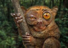 A tarsier in the Philippines. Photo by Andre Hoffman Ugly Animals, Cute Animals, Exotic Animals, Slow Loris, Hi Gorgeous, Weird Creatures, Crazy Dog, Cool Pets, Primates