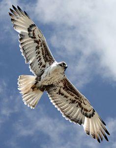 Ferruginous Hawk  omg love ferrugies