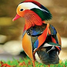 The Manderine duck is considered by some to be the prettiest bird in the world.