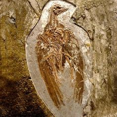 The fossil of a primitive bird, Confuciusornis sanctus, that existed 125 to 120 million years ago.