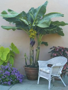 Banana 'Dwarf Lady Finger' (Musa acuminata) grows to about 5 feet which is perfect for a container