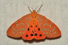 MOTH LIFE, sinobug: Crotalaria Podborer Moth (Mangina...