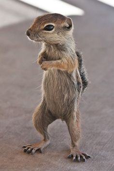 https://flic.kr/p/a3Vmi8 | I'm Back | Antelope Ground Squirrel Henderson, Nevada Looking for his free peanut snack.