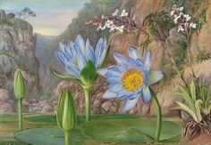 Water-Lily and Surrounding Vegetation in Van Staaden's Kloof by Marianne North Framed Art Print Magnolia Box Size: Extra Large Botanical Drawings, Botanical Illustration, Botanical Prints, Illustration Art, Kew Gardens, Framed Art Prints, Painting Prints, Marianne North, Picture Frame Art
