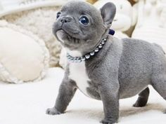 Micro Teacup Puppy Store Specializing In The Smallest Dogs French Bulldog Puppies For Sale By Teacups Puppies Baby Arianna Beautiful Baby Doll Image Mini Blue French Bulldog Available Updated Pic Video 9 18 19 French Bulldog Puppies For Sale By Teacups French Bulldog For Sale, French Bulldog Blue, Bulldog Puppies For Sale, Tiny Puppies, French Bulldog Puppies, Cute Puppies, Micro Teacup Poodle, Micro Teacup Puppies, Teacup Puppy Breeds