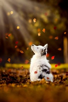 In heaven, there will be autumn leaves...and dogs!!