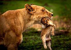 Lion cub by photographer Rahul Matthan