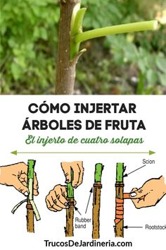 How to Graft Fruit Trees The Four Flap Graft is part of Fruit tree garden So how to graft fruit trees There are several different ways, but we& show you one of the best and easiest grafting techn - Grafting Fruit Trees, Grafting Plants, Pruning Fruit Trees, Tree Pruning, Fruit Tree Garden, Fruit Plants, Garden Trees, Garden Plants, Fruit Fruit
