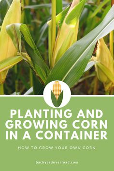 Growing corn in Texas or any of the Great Plains states is possible. Hard and tedious, but it's been done for generations. But here at Backyard Overload we want to help you, the urban Gardener Texas Gardening, Gardening Tips, Growing Flowers, Growing Plants, Growing Sweet Corn, Small Vegetable Gardens, Farm Gardens, Garden Plants, House Plants