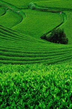 Green tea fields in Japan.