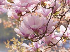 Ağaç, Manolya, Pembe, Çiçekler, Bahar