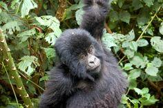 Rwanda Tourism   Mountain Gorilla Trekking   A Hint of Ginger   Blog Gorilla Trekking, Mountain Gorilla, Tourism, Face, Blog, Animals, Turismo, Animales, Animaux