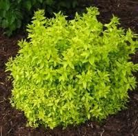 "Spiraea japonica, 'Golden Elf'  Japanese Spirea  'Golden Elf' is a dwarf, golden-leaved, spirea growing to only 6-9"" tall and to  24"" wide. Deciduous with beautiful gold color into the fall. Tiny pink flowers in small clusters. Blooms from May to July. Small accent for front of a  border, low ground cover, good for edging paths or walkways and foundation plantings. Spireas are, as a group, easy care shrubs tolerating a variety of conditions including clay soil. Hardy from Zone 4 to 8."