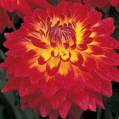 Giant Dinner Plate Dahlias | Shop Procyon Dinnerplate Dahlia at Breck's