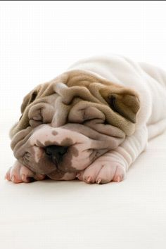 Shar Peis. They were first bread to guard the temples of ancient Emperors in China. The name translates to sand skin because they are so soft and cuddlesome....x