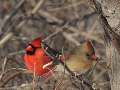 Cardinals posted to the weather network by Jason Hazell of Toronto.