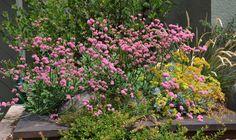 https://flic.kr/p/o5Gw7v | Eriogonum grande rubescens, Eriogonum crocatum, Eriogonum umbellatum polyanthum, and Arctostaphylos nummularia 'Bert Johnson' | California Native Plant Garden by East Bay Wilds 510-409-5858