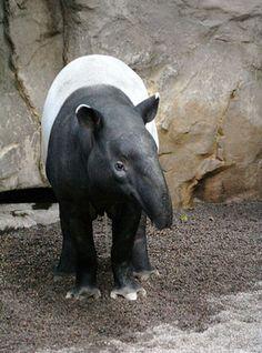 tapir placidus