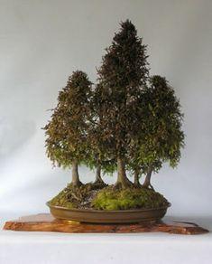 Native trees as bonsai