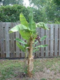 Hardy Banana Trees: How To Grow And Care For A Cold Hardy Banana Tree - Love the look of lush tropical foliage? Cold hardy banana plants grow well and over winter up to USDA zone Learn more about growing these hardy bananas in this article. Fruit Garden, Edible Garden, Tropical Garden, Tropical Plants, Garden Plants, Trees And Shrubs, Trees To Plant, Outdoor Plants, Outdoor Gardens