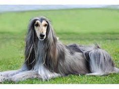 afghan hound- poetry in motion