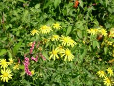 Madagascar ragwort / Magascar groundsel / fireweed #flower