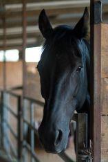 Black Horse  Love