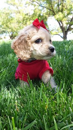 This little Cocker Spaniel puppy looks so adorable in her litle outfit. #puppied PP: Facebook.com/sodoggonefunny