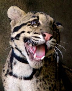 Happy Haui-san! by Penny Hyde   Flickr - Photo Sharing!  Haui-san the Clouded Leopard Cub (born 8/25/12)