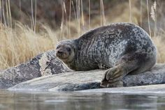Saimaannorppa -  The Saimaa ringed seal (Pusa hispida saimensis). They are among the most endangered seals in the world. The only existing population of these seals is found in Lake Saimaa, Finland.