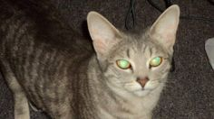Lost Cat - Tabby - Acton, ON, Canada L7J 2E2