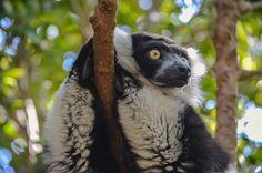 Lemur de Collar Blanco y Negro, Bioparc (Valencia - Spain)