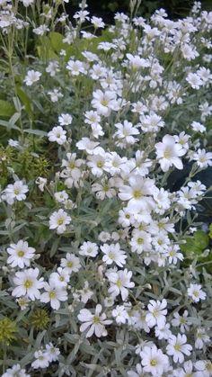 cerastium tomentosum (hoornbloem) / karvane kadakkaer