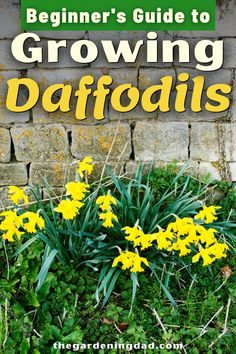 Learn How to Grow Daffodils with this Beginner's Guide to Growing Daffodils! You'll love these beginner-friendly perennial flower growing tips and ideas for growing daffodils indoor and outdoors in your yard and flower garden! #flowergarden #flower #gardeningideas Gardening For Beginners, Gardening Tips, Soil Improvement, Different Flowers, Flowers Perennials, Growing Flowers, Growing Vegetables, Daffodils, Compost