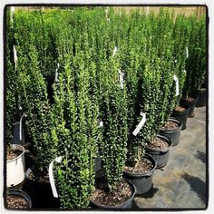 us Extraordinary Fast Growing Privacy Plants Ideas Best Idea Home Privacy Plants, Fence Plants, Garden Plants, Yard Privacy, Fast Growing Trees, Growing Plants, Trees And Shrubs, Trees To Plant, Sky Pencil Holly