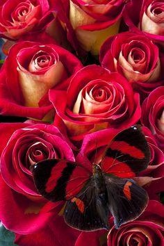 Red e fotografar Borboleta Black - Red And Black Butterfly Fine Art Print