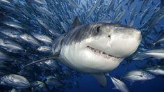 #ocearch #sharks