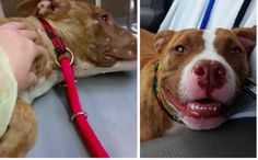Terrified Pit Bull Can't Stop Shaking Until His Rescuer Sings To Him
