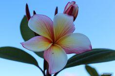 Fleur de l'un de mes frangipaniers