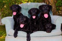 Black Labradors http://media-cache6.pinterest.com/upload/52846995596908477_YCgOdTFk_f.jpg yvette_mcfield products i love