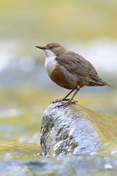 Dippers are members of the genus Cinclus in the bird family Cinclidae, Dippers are found in suitable freshwater habitats in the highlands of the Americas, Europe and Asia. In Africa they are only found in the Atlas Mountains of Morocco.
